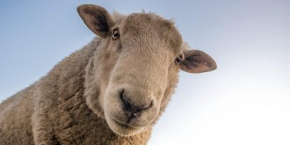 All About Sheep Cheese